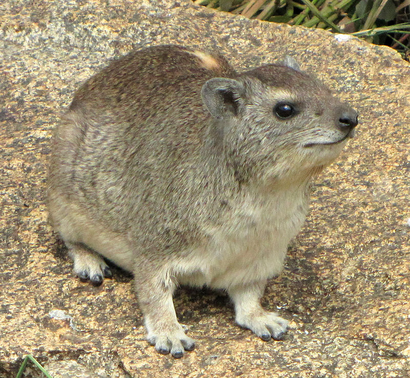 800px-Yellow-spotted_Rock_Hyrax